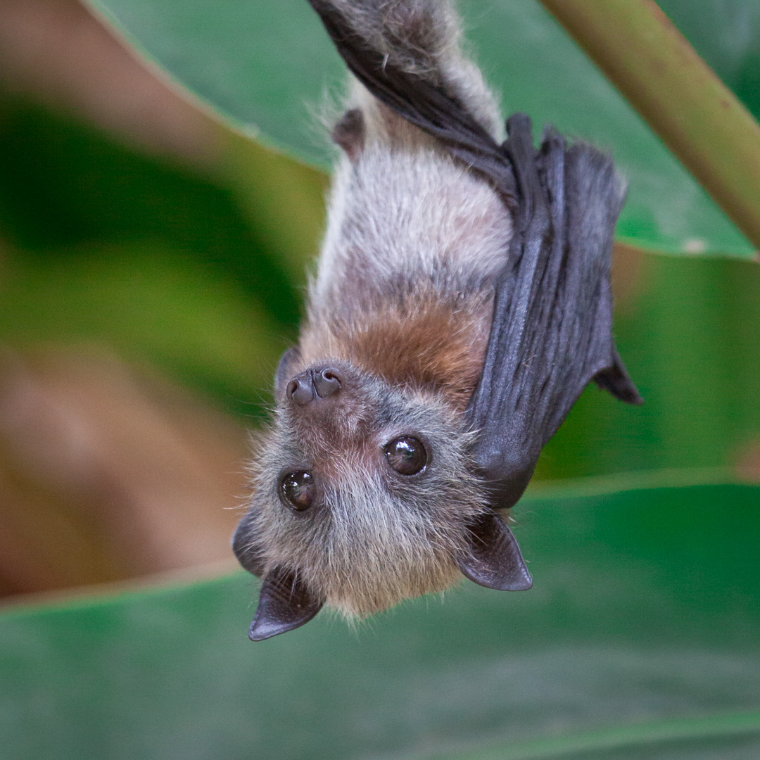 Class Image – Baby Fruit Bat – click to view class details
