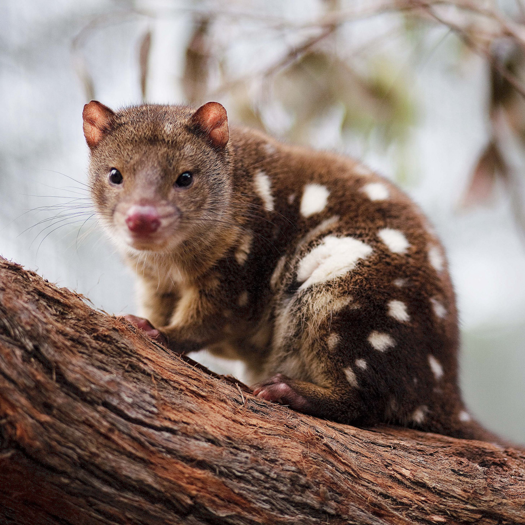Class Image – Spotted Quoll – click to view class details